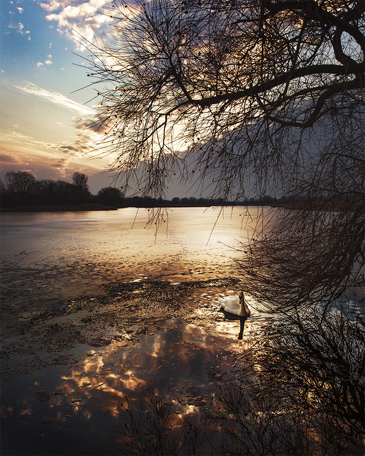 Swan in swamp in Copenhagen Denmark. Sunset